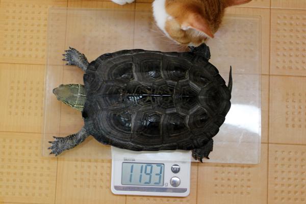 かめき千代さま、体重1193g