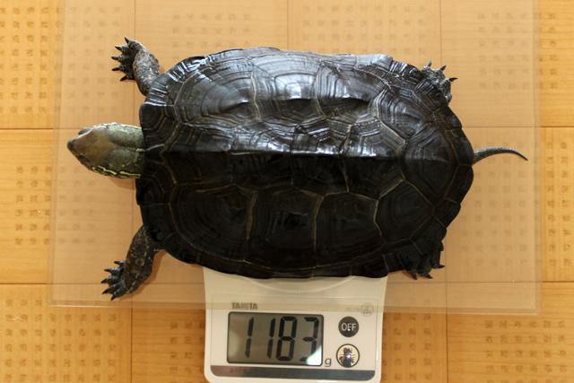 かめき千代 体重:1183g