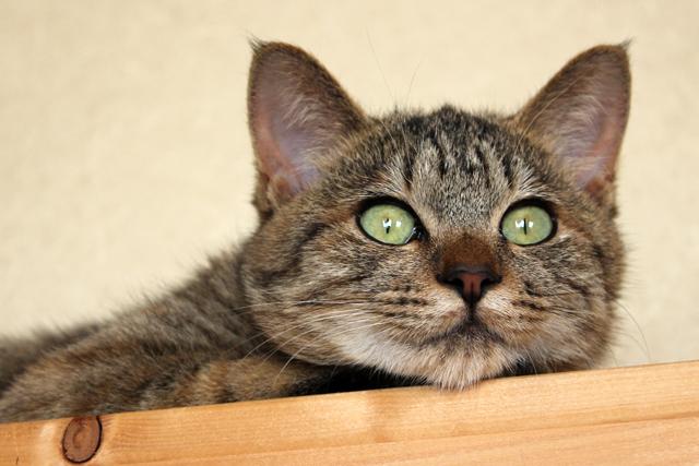 猫の里親募集3