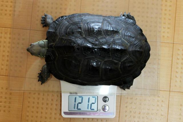 かめき千代 体重:1212g