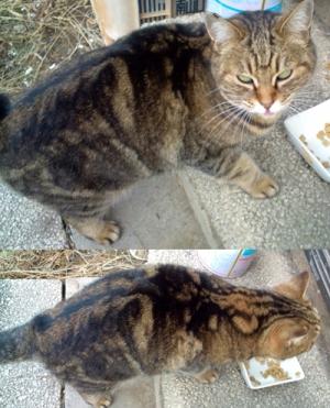迷い猫 飼い主を探しています(長野県安曇野市)